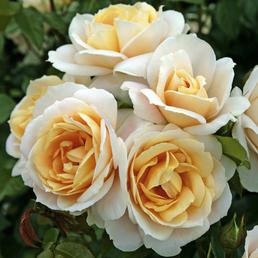 KORDES ROSEN Beetrose, Rosa »Lions-Rose®«, Blüte: cremeweiß, gefüllt