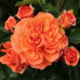 KORDES ROSEN Beetrose, Rosa »Orangerie®«, Blüte: orange, gefüllt