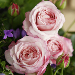 KORDES ROSEN Beetrose, Rosa »Rosenfaszination®«, Blüte: rosa, gefüllt