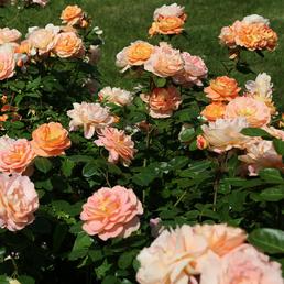 KORDES ROSEN Beetrose, Rosa »Schöne vom See®«, Blüte: apricot, gefüllt