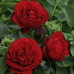 KORDES ROSEN Beetrose, Rosa »Till Eulenspiegel®«, Blüte: rot, gefüllt