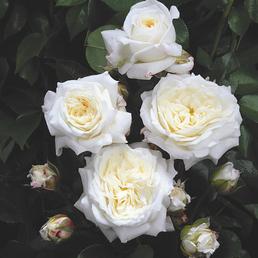 ROSEN TANTAU Beetrose, Rosa x hybrida »Alabaster«, Blüte: weiß, gefüllt