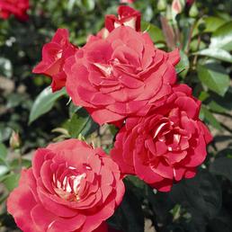 ROSEN TANTAU Beetrose, Rosa x hybrida »Heimatmelodie«, Blüte: rot, halbgefüllt