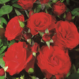 ROSEN TANTAU Beetrose, Rosa x hybride »Montana«, Blüte: rot, halbgefüllt