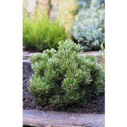 Bergkiefer mugo Pinus »Sherwood compact«