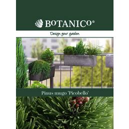 BOTANICO Bergkiefer Pinus mugo »Picobello«
