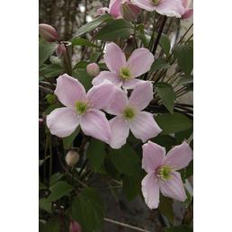 GARTENKRONE Bergwaldrebe, Clematis montana »Rubens«, rosa, winterhart