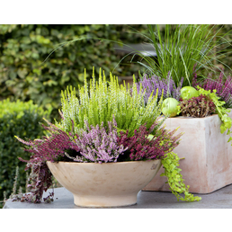 Besenheide, Calluna vulgaris »Beauty Ladies«, Blüte: lila