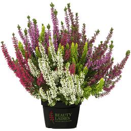 Beauty Ladies Besenheide, Calluna vulgaris  »High Five«, Wuchshöhe: 50 cm, Blüte: mehrfarbig