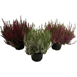 Garden Girls Besenheide, Calluna vulgaris, max. Wuchshöhe: 40 cm, Blüte: mehrfarbig