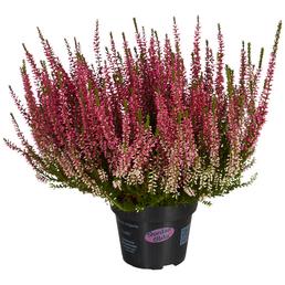 Garden Girls Besenheide, Calluna vulgaris, Wuchshöhe: 30 cm, Blüte: mehrfarbig