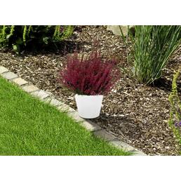 Garden Girls Besenheide, Calluna vulgaris, Wuchshöhe: 40 cm, Blüte: mehrfarbig