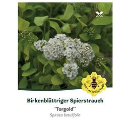 Birkenblättrige Spiere, Spiraea betulifolia »Torgold«, Blütenfarbe weiß
