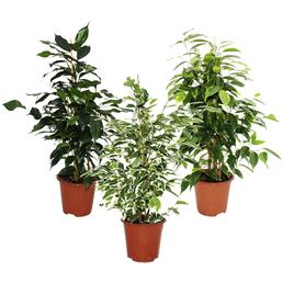 Birkenfeige 3er Set Ficus benjamini