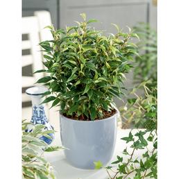 GARTENKRONE Birkenfeige Ficus benjamina »Natasja«