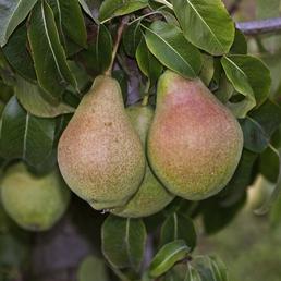GARTENKRONE Birne, Pyrus communis »Clapps Liebling«, Früchte: süß, zum Verzehr geeignet