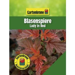 GARTENKRONE Blasenspiere, Physocarpus opulifolius »Lady in Red«, Blütenfarbe creme