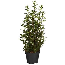GARTENKRONE Blasenspiere, Physocarpus opulifolius »Little Devil«, Blütenfarbe weiß
