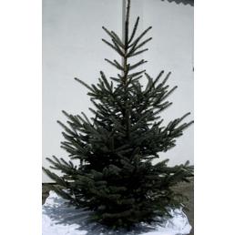 Blaufichte pungens Picea »Glauca«, 150–200 cm, geschlagen