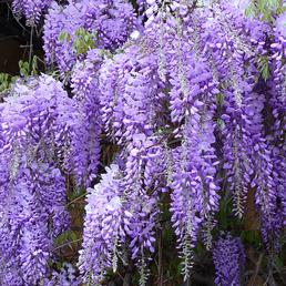 Blauregen, Wisteria Sinensis, Blüten: lila