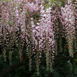 Blauregen, Wisteria Sinensis, Blüten: rosa