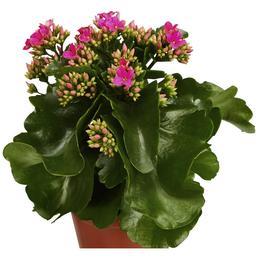 GARTENKRONE Blühpflanze Flammendes Käthchen blossfeldiana