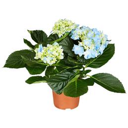 Blühpflanze Hortensie macrophylla, blau