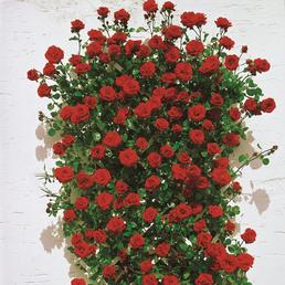 ROSEN TANTAU Blühpflanze »Santana«, Blüte: dunkelrot