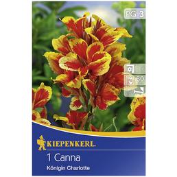 KIEPENKERL Blumenzwiebel Blumenrohr, Canna indica, Blütenfarbe: mehrfarbig