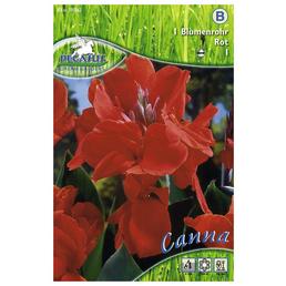 PEGASUS Blumenzwiebel Blumenrohr, Canna indica, Blütenfarbe: rot