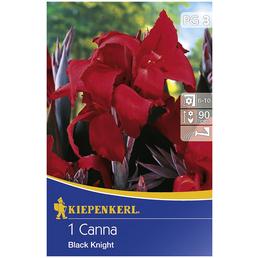 KIEPENKERL Blumenzwiebel Blumenrohr, Canna indica, Blütenfarbe: rot