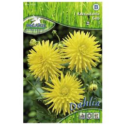 PEGASUS Blumenzwiebel Dahlie, Dahlia Hybrida, Blütenfarbe: gelb