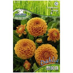 PEGASUS Blumenzwiebel Dahlie, Dahlia Hybrida, Blütenfarbe: orange