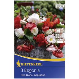 KIEPENKERL Blumenzwiebel Hängebegonie, Begonia Tuberhybrida, Blütenfarbe: mehrfarbig