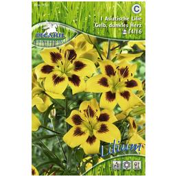 PEGASUS Blumenzwiebel Lilie, Lilium Hybrida, Blütenfarbe: gelb