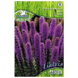 PEGASUS Blumenzwiebel Prachtscharte, Liatris spicata, Blütenfarbe: helllila