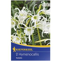 KIEPENKERL Blumenzwiebel Schönhäutchen, Hymenocallis narcissiflora, Blütenfarbe: weiß