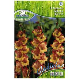 PEGASUS Blumenzwiebel Schwertblume, Gladiolus Hybrida, Blütenfarbe: mehrfarbig