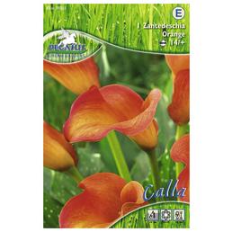 PEGASUS Blumenzwiebel Zantedeschie, Zantedeschia Hybrida, Blütenfarbe: orange