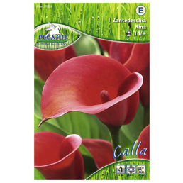 PEGASUS Blumenzwiebel Zantedeschie, Zantedeschia Hybrida, Blütenfarbe: rot