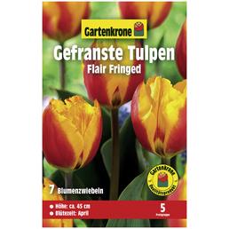 GARTENKRONE Blumenzwiebeln Gefranste Tulpe, Tulipa X hybrida »Flair Fringed«, Blütenfarbe: zweifarbig