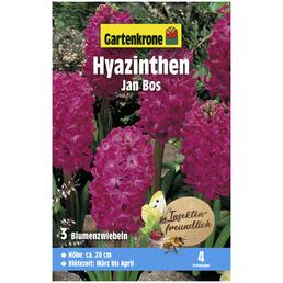 GARTENKRONE Blumenzwiebeln Hyazinthe, Hyacinthus orientalis »Jan Bos«, Blütenfarbe: rot