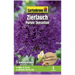 GARTENKRONE Blumenzwiebeln Zierlauch, Allium Aflatunense »Purple Sensation«, Blütenfarbe: violett