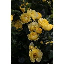 Bodendeckerrose »Limesgold ®«, Rosa, Blüte: gelb