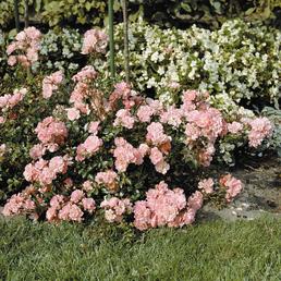 ROSEN TANTAU Bodendeckerrose Rosa hybride »Satina«