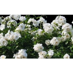 Bodendeckerrose  »White Cover®«, Rosa, Blüte: weiß