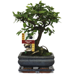Bonsai Chinesische Ulme, Ulmus parvifolia