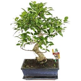Bonsai Chinesischer Feigenbaum, Ficus retusa
