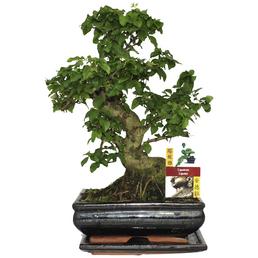 Bonsai Chinesischer Liguster, Ligustrum sinense