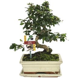 Bonsai Fukientee, Carmona microphylla